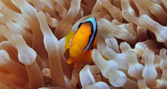 Anemone fish Diving Sharm el Sheikh