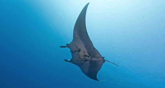 Manta Ray Diving Sharm EL Sheikh