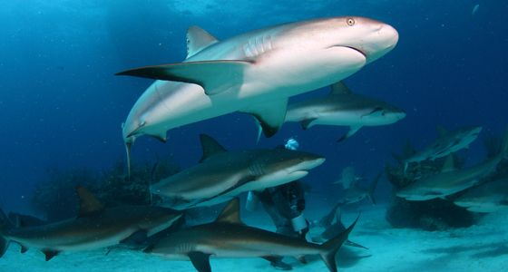 Shark Alley Bahamas Caribbean reef shark