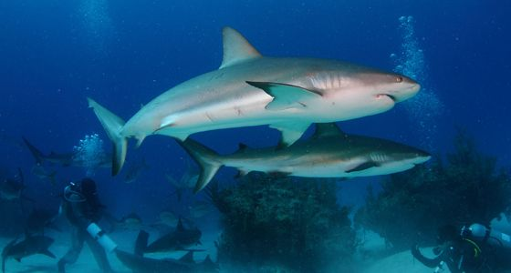 caribbean reef shark dive grand bahama