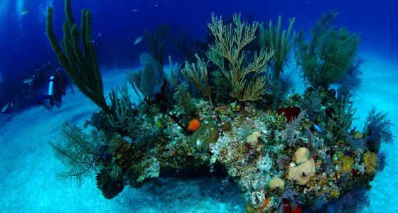 corals grand bahama diving