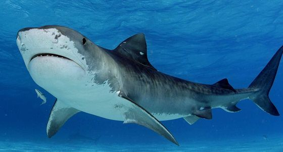 tiger shark grand bahama diving