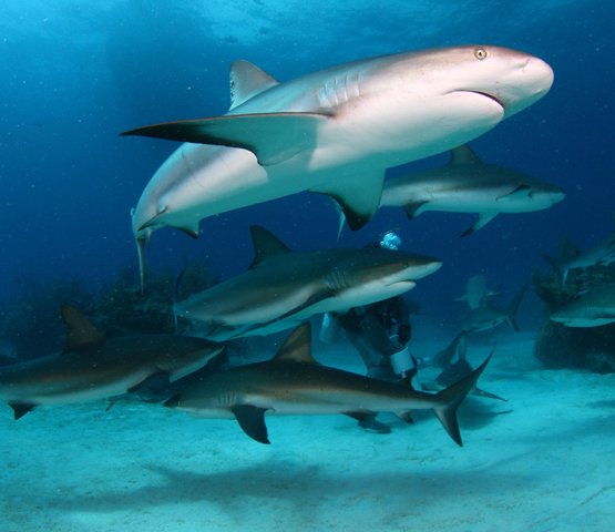 7 Regular Dives + 1 Caribbean Shark Dive and 7 Nights All Inclusive Accommodation's photos